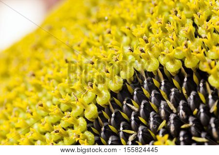 photographed close-up corolla sunflower seeds, and mature black underneath