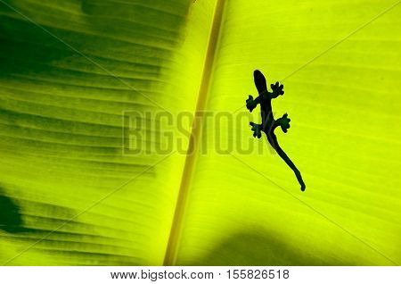 The Shadow Of Gecko Or Lizard On Green Yellow Banana's Leaf
