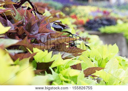 shallow focus on the beautiful fall gardens of Stratford Ontario Canada in fall
