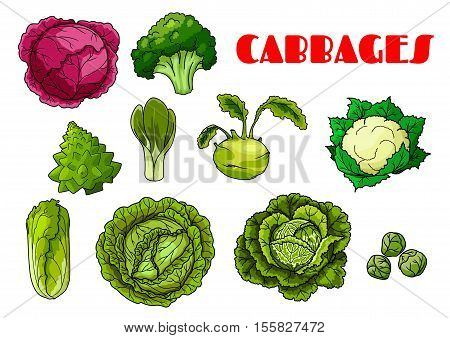 Vegetable cabbages set. Red cabbage, broccoli, cauliflower and chinese cabbage, brussels sprout, kohlrabi and napa, collard greens and savoy, kale, kai-lan. Isolated vector icons of cabbage leafy vegetables