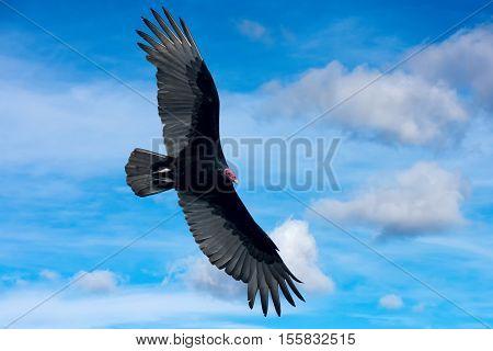 Zopilote Vulture Buzzard Bird In Baja California