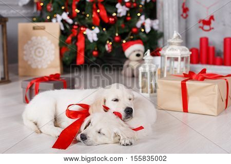 Two beautiful golden retriever puppy with tied red ribbons around the neck, a sweet sleep on the floor on a white background green elegant Christmas tree decorated with red balls and boxes with gifts, one puppy rested his head on the back of another