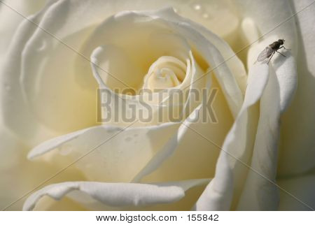 White Rose With Fly