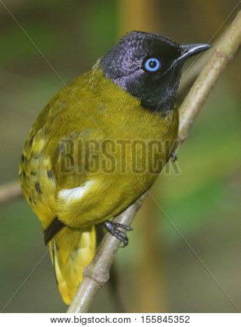 perching Black-headed Bulbul, seen from above, head closer to camera, Thailand