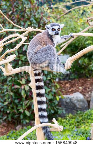 Ring-tailed lemur aka Lemur catta sitting on the tree
