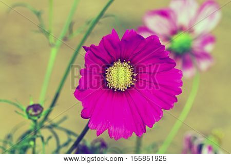 Pink cosmos flower (Cosmos Bipinnatus) with blurred background,processed in vintage style.