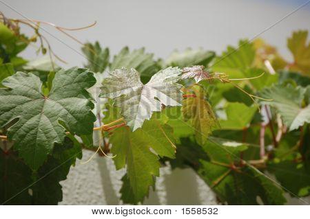 Grapes Tree