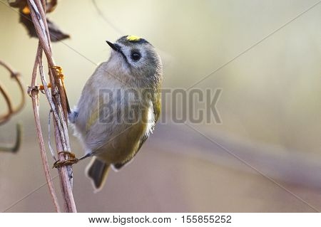 goldcrest , Regulus sitting on a branch in backlit, birds, birdwatching , wood