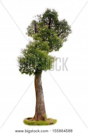 Camphor tree isolated on white background (material).