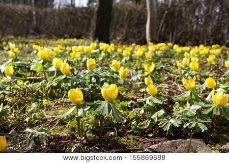 Winter aconite / Eranthis hyemalis grows in Southern Europe, the picture is taken in Germany.