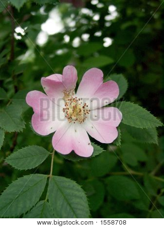 Flower Of A Dogrose