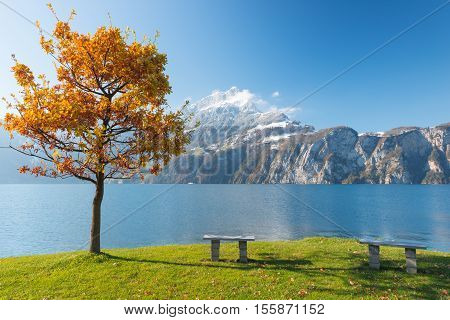 Red autumn tree. Shore of lake in central Switzerland. Panorama of mountains peaks in snow. The sun's rays in the foliage bright joyful day