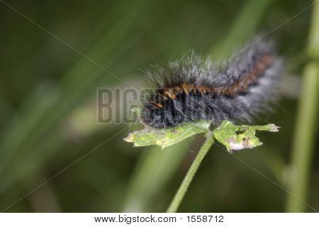 Black-Orange Caterpillar
