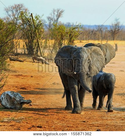 Mother and Baby Calf Elephant walking into camp with natural backdrop of plains and bush