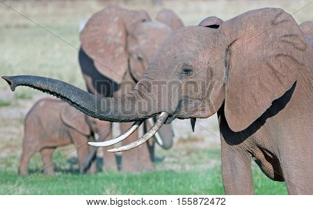 Elephant with large tusks and trunk extended in Bumi National Park - Zimbabwe poster