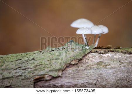 pordelain mushrooms on old beech trunk with peeling bark on forest floor