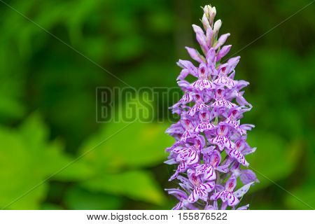 Close up Obedient Plant flower. Natural background.