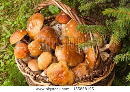 Fresh Edible Mushrooms In Wicker Basket In Autumn Forest Top View. Boletus Edulis. Wicker Basket With Mushrooms Boletus Edulis In Forest.
