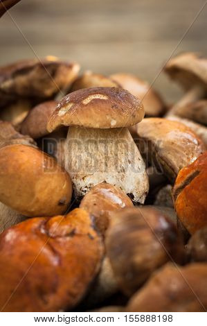 White Mushroom Boletus Eduli. Small Edible White Mushroom Boletus Edulis Lying On Heap Of Forest Wild Mushrooms Close Up. Selective Focus.