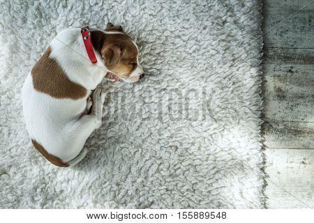 jack russel on white carpet