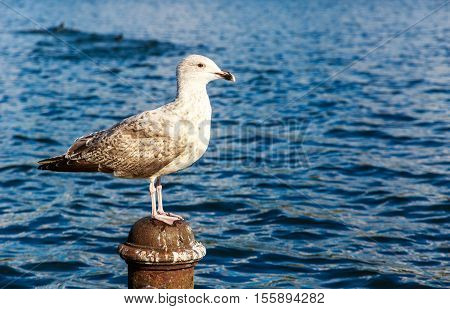 Gull perching on a post in Hyde Park London
