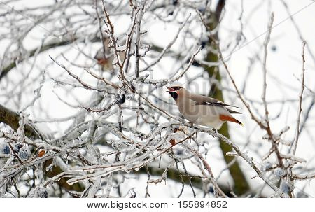 Beautiful waxwing on an icy tree branch with berries