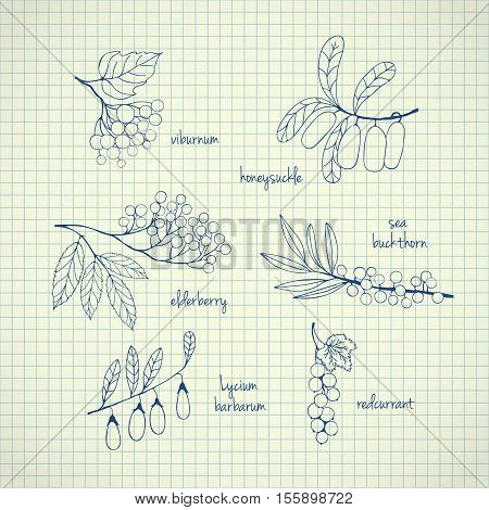 Collection of garden and wild berries. Hand-drawn sketches on paper. illustration for design