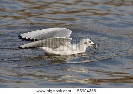 Bonaparte's Gull Catching A Fish In Autumn - Ontario, Canada