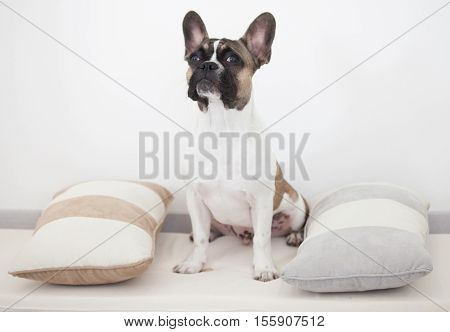 French bull dog puppy sitting between the pillows