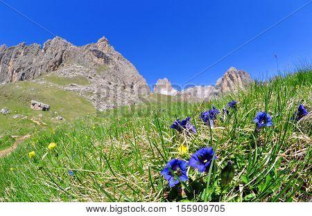 Blooming gentians on mountain meadow, Valle del Vajolet in Dolomites,Italien Alps