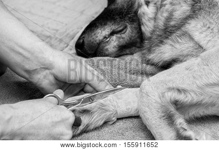 Hand of a doctor with scissors removing catheter from a leg of a dog. Closeup in black and white