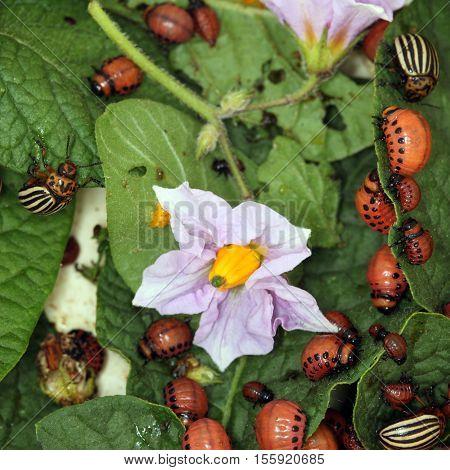Colorado Beetles And Larvae