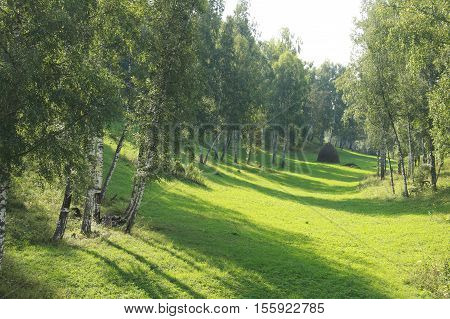 Birch Grove In The Urals