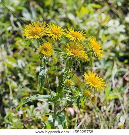 British elecampane (the Latin. inula Britannica). Wild plants of Siberia