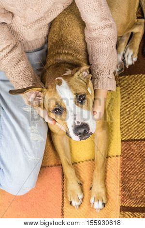 Dog on the rug with human. Top view of a puppy with big ears lying on the rug, human hugs it