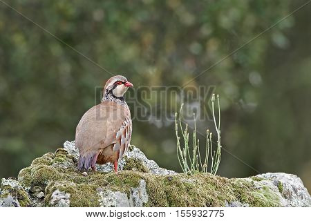Red-legged partridge standing on a rock in its habitat