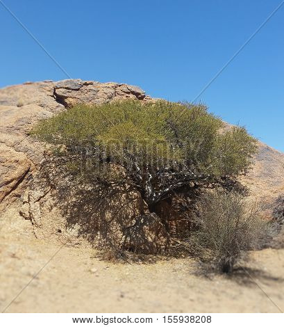 Thorn tree growing out of a cleft in a rock