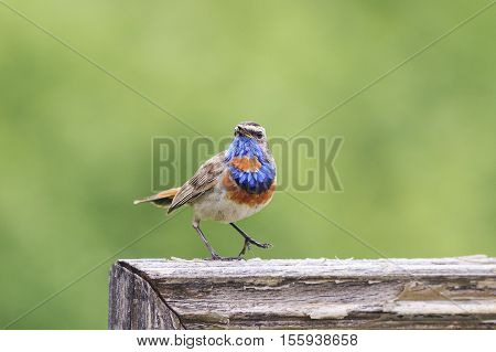 the bird is the Bluethroat sings one hundred on a wooden fence