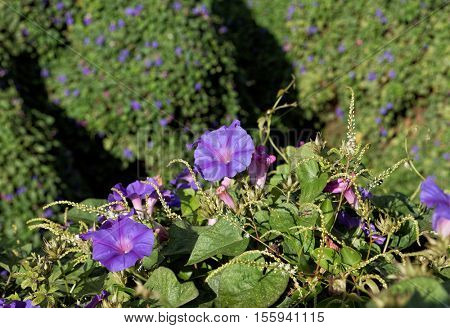 Ipomoea purpurea , annual vine with purple flowers, background