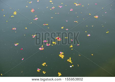 PUSHKAR, INDIA - FEBRUARY 17: Colourful floral offerings, petals, flowers and garlands, floating in Pushkar Lake, Rajasthan, India on February 17, 2016.