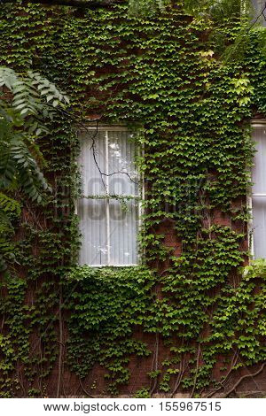 a window peeks out through a whole wall of ivy that is trying to overtake it.