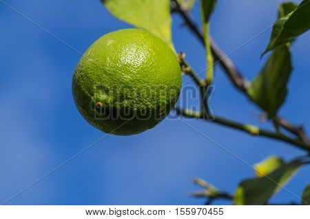Closeup of a Green Lemon Hanging from the Tree