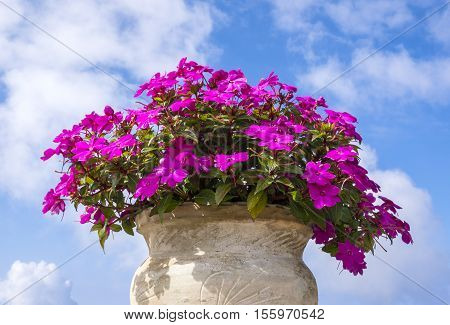 Colorful Impatiens in a Clay Pot Against the Blue Sky