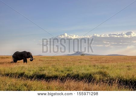 Elephant in the savannah at sunset . Africa.