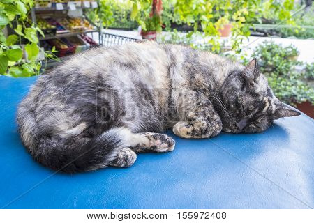 Sleeping Tortoiseshell Cat Outside a Shop in Positano Italy