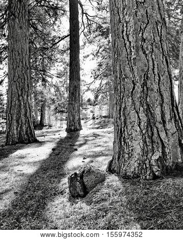Ponderosa Pine trees in a park in Bend, Oregon illuminated with the afternoon sun.