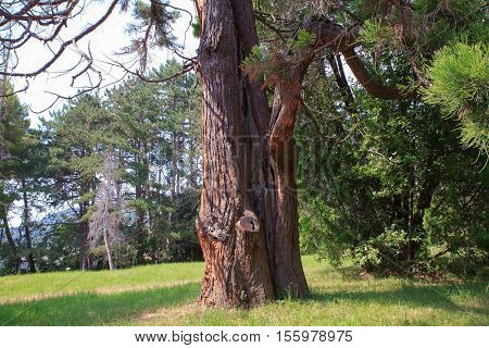 View of the giant sequoia Sequoia sempervirens commonly called coast redwood