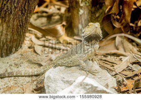 Bearded dragon lizard