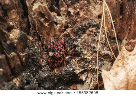 Cluster of firebugs Pyrrhocoris apterus on rotten trunk in late autumn