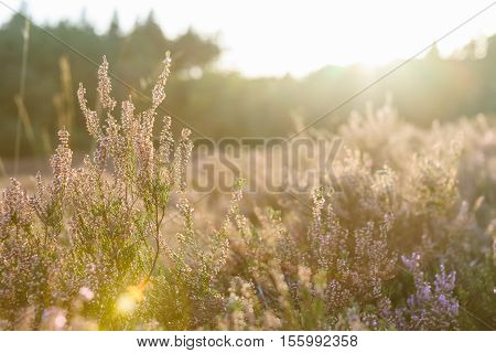 Moorland in a Dutch National Park in low sunlight at the end of the summer season.